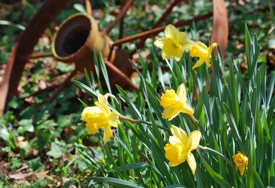 Daffodils and wagon wheel