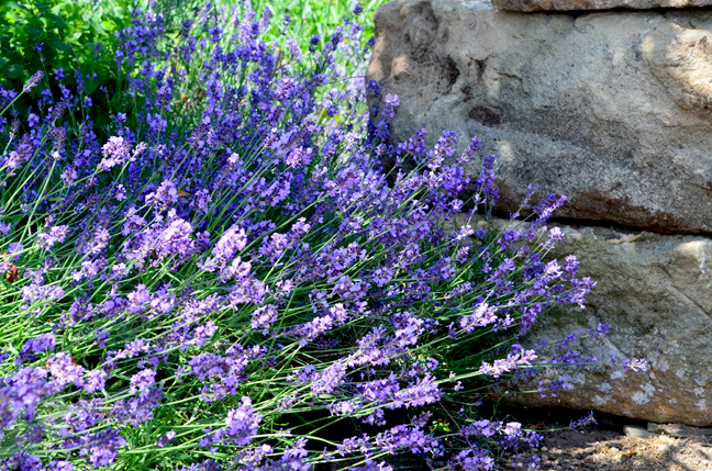 Lavender and stone wall