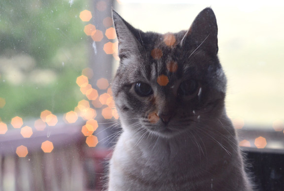 Cat looking in the window