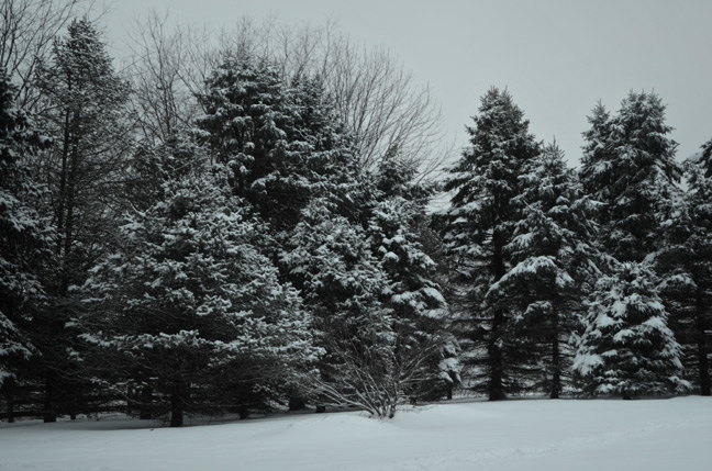 Snow in the spruce trees