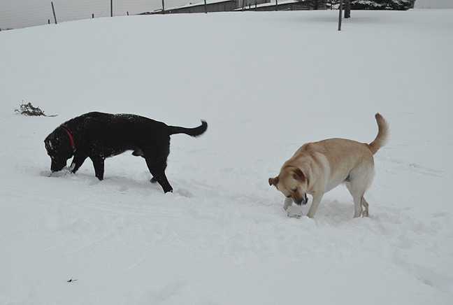 Dogs rolling snowballs