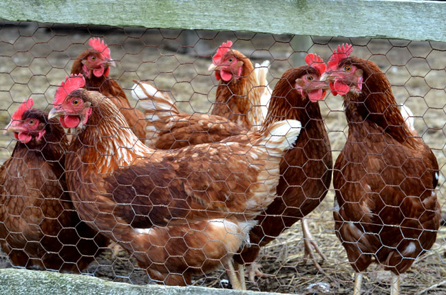Chickens in their coop