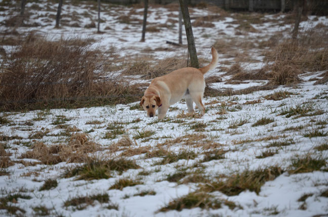 yellow lab in snowy field