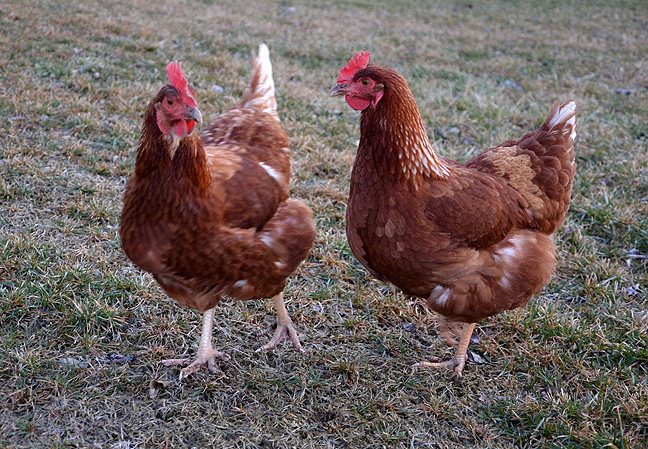 Hens squawking