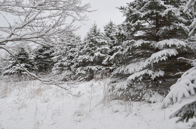 Snow on blue spruce trees