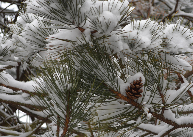 Snow and pine cone