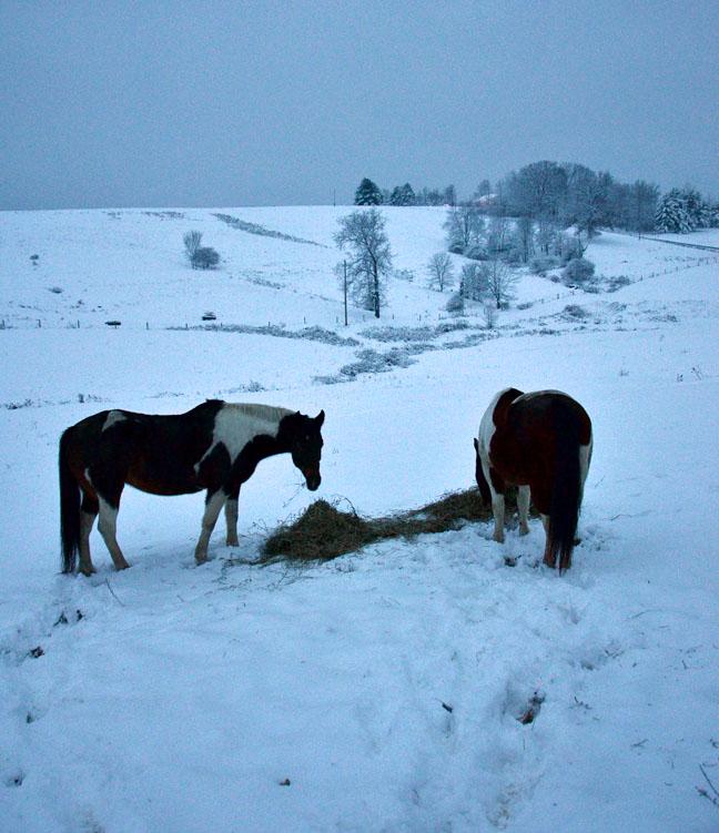 Horses eating hay in snow
