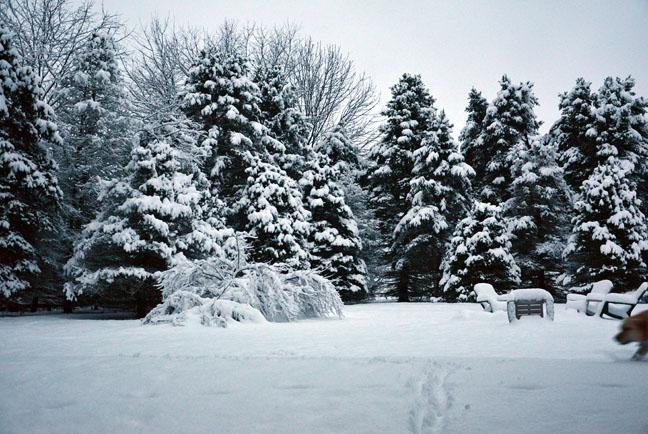 Snowy spruce trees