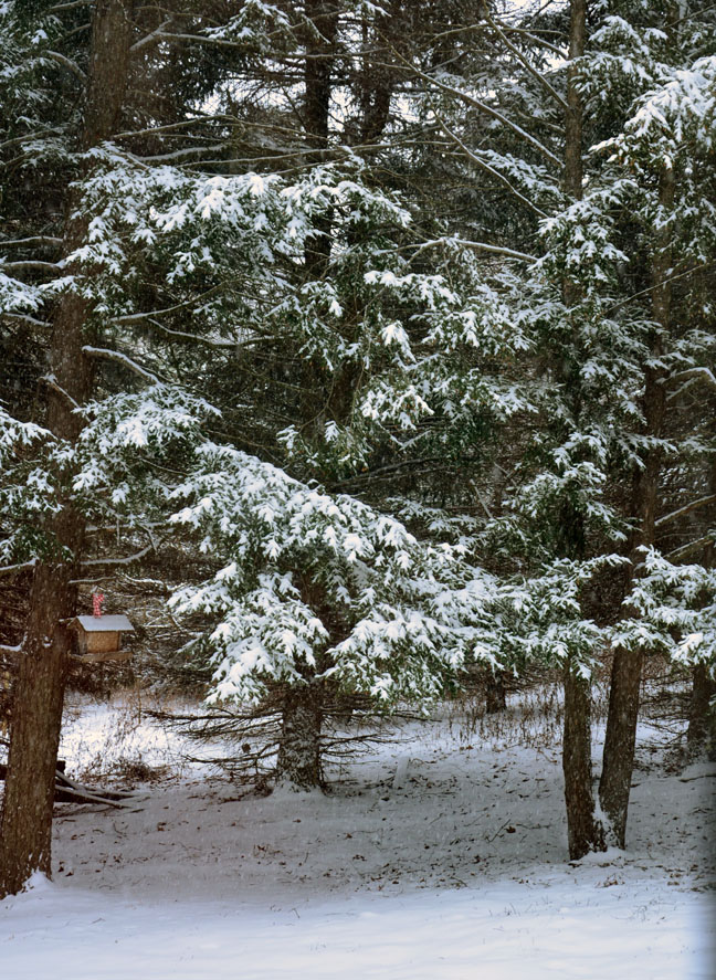 Snowy view of hemlocks