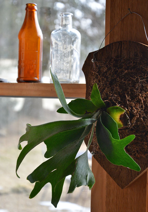 Staghorn fern by a window with antique glass bottles