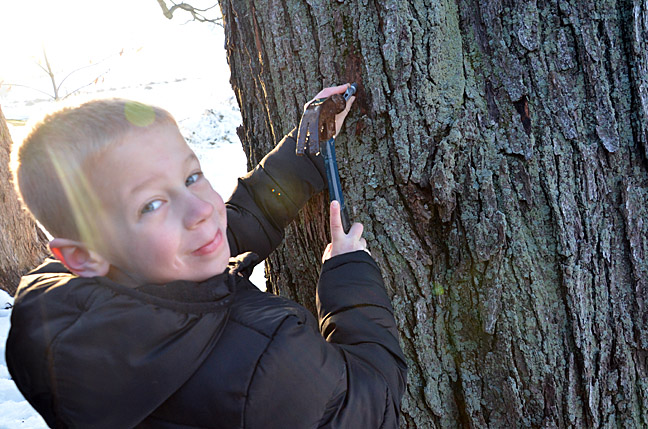 Tapping spiles into maple trees