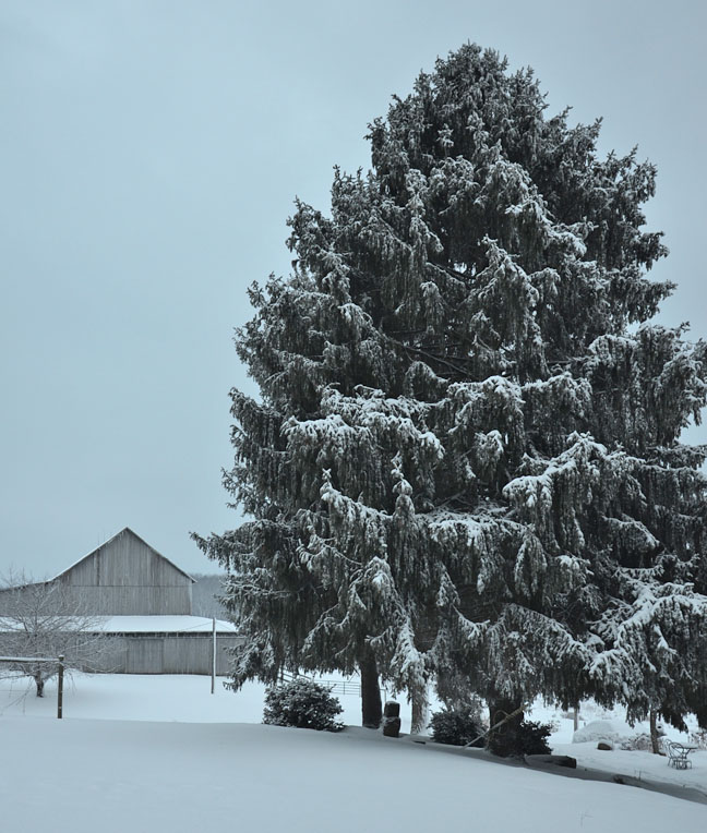 Farm scene with snowy barn and towering spruce tree