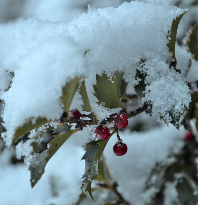 Holly berries under snow
