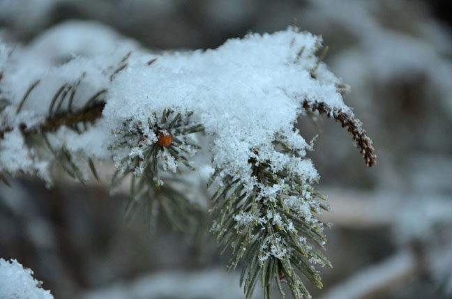 Snowflakes on a pine branch
