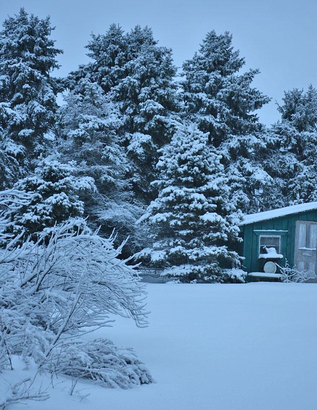 Chicken coop under snowy spruce trees