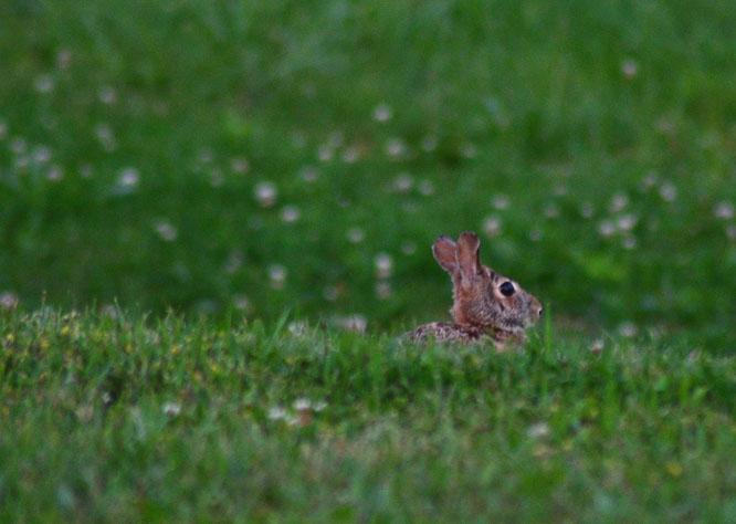 Wild rabbits at Tuckaway Farm