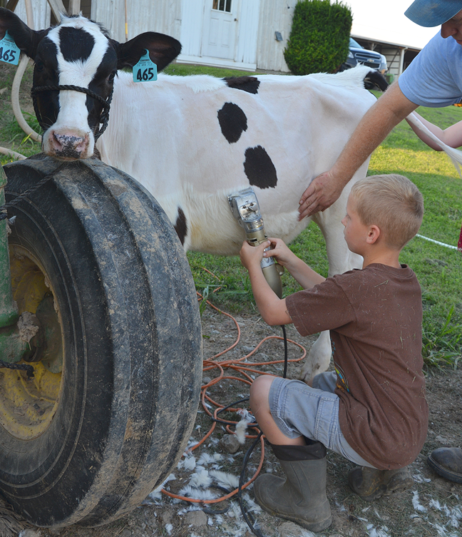 Clipping cows for a county fair dairy show.