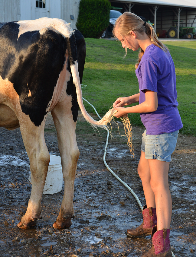 Washing cows for the county fair.