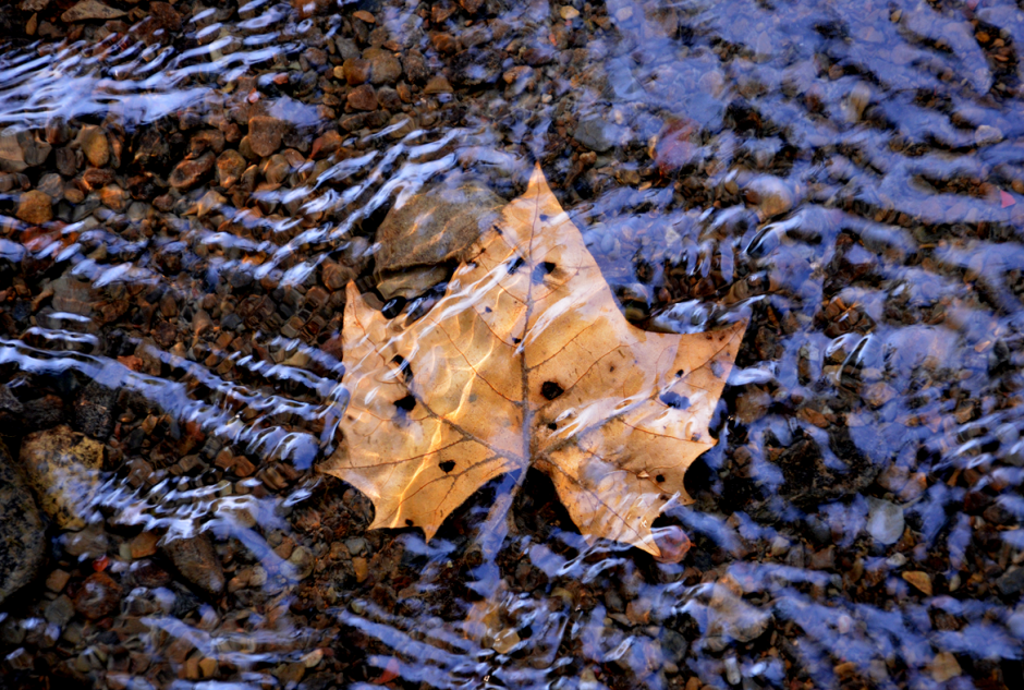 Autumn leaves floating in the creek