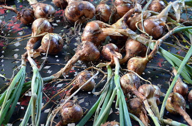 Shallots from the garden.