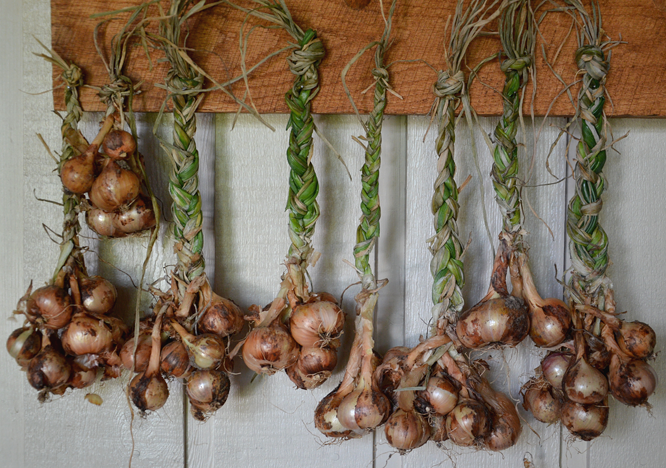 Curing shallots from the garden