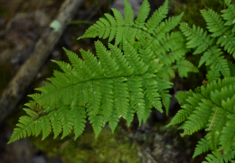 Ferns in the forest of Pennsylvania