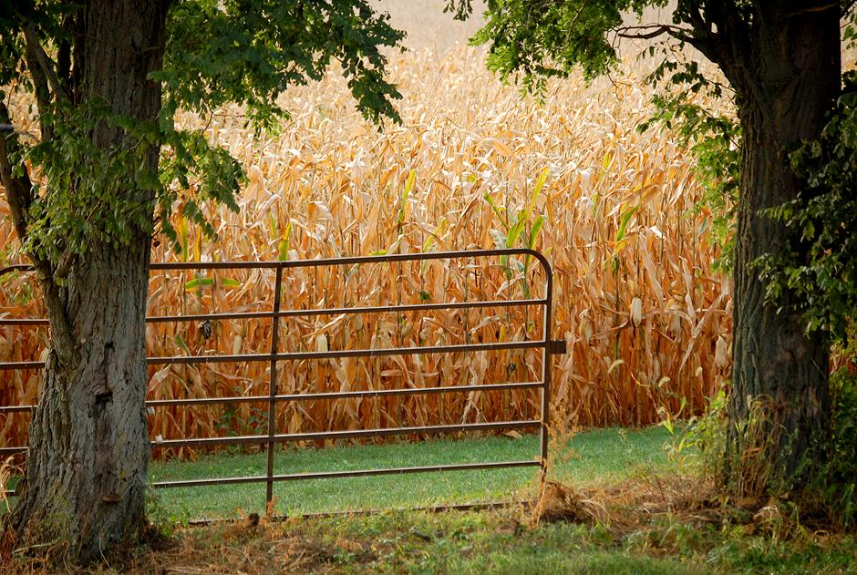 Gate in the cornfield