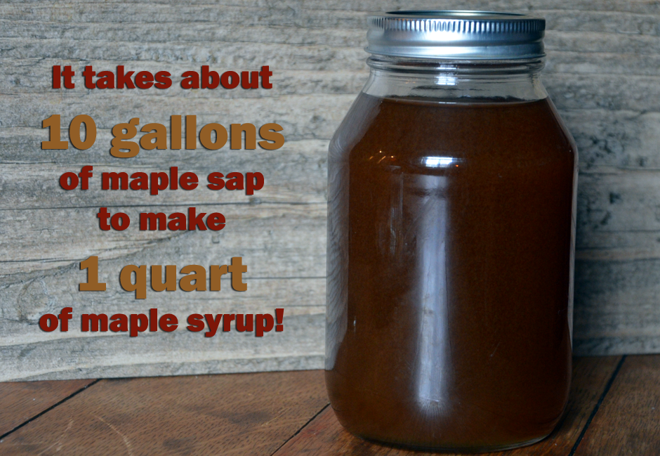 It takes about 10 gallons of sap to equal 1 quart of maple syrup.