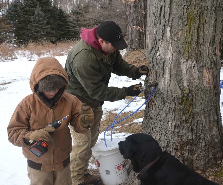 Tapping trees for maple syrup.