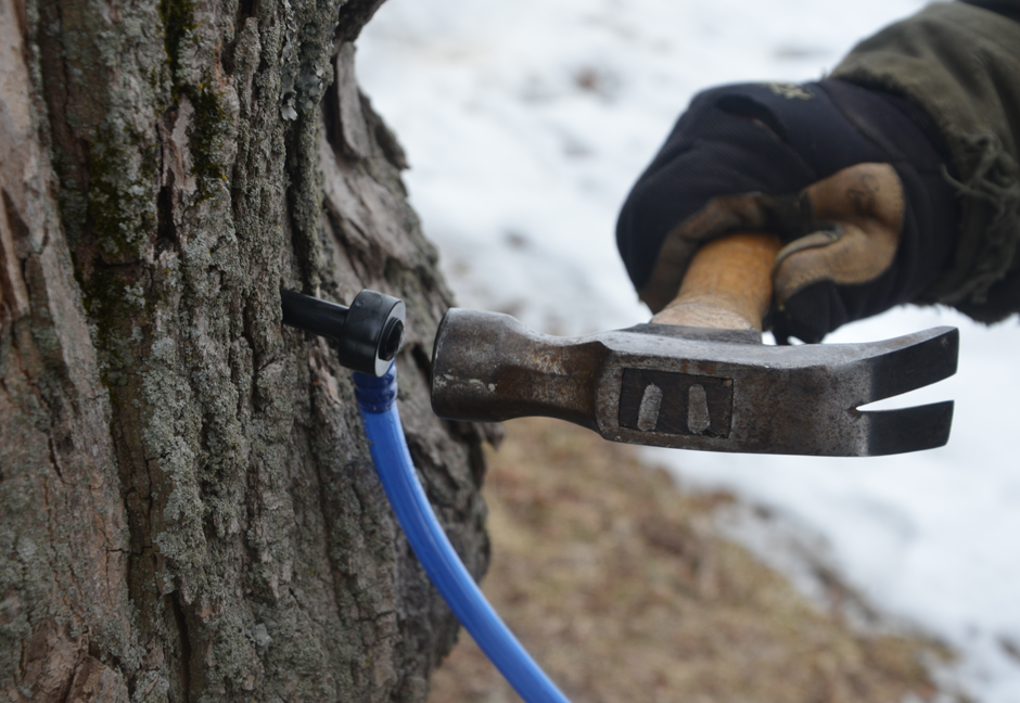 Tapping a stile into the maple tree.