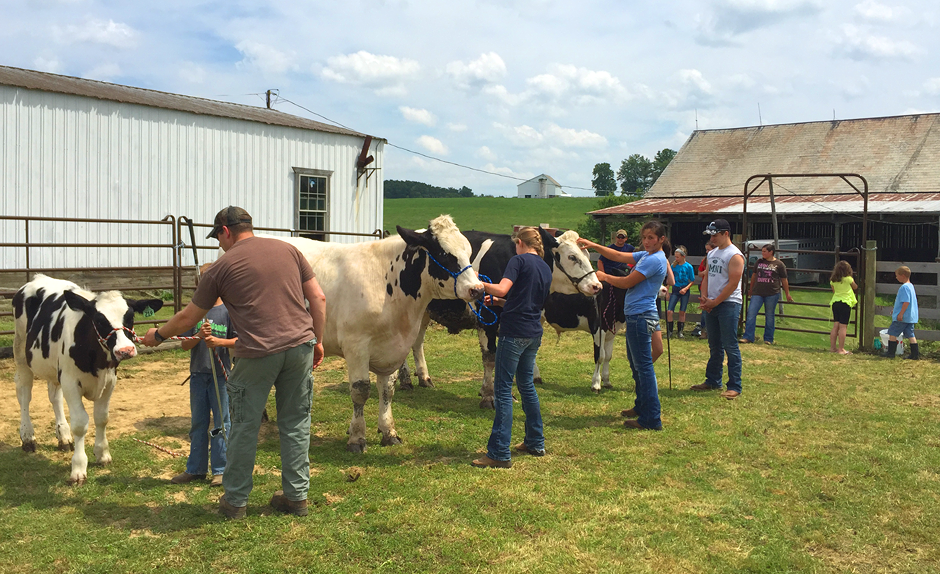 4-Hers practicing for the dairy beef show.