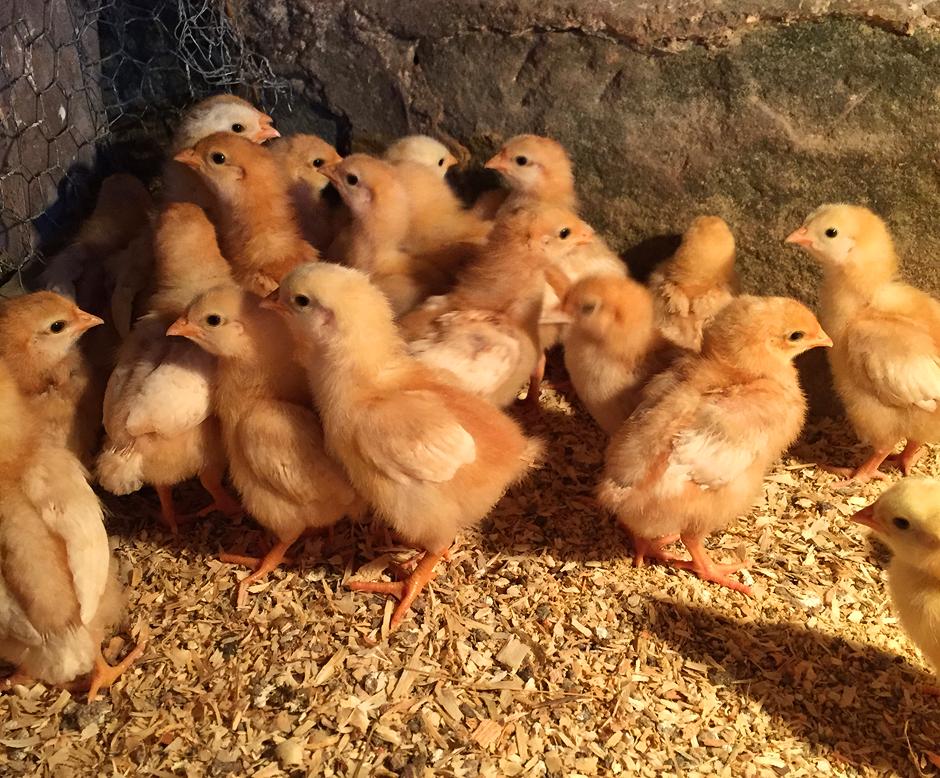 Baby chicks at Tuckaway Farm.