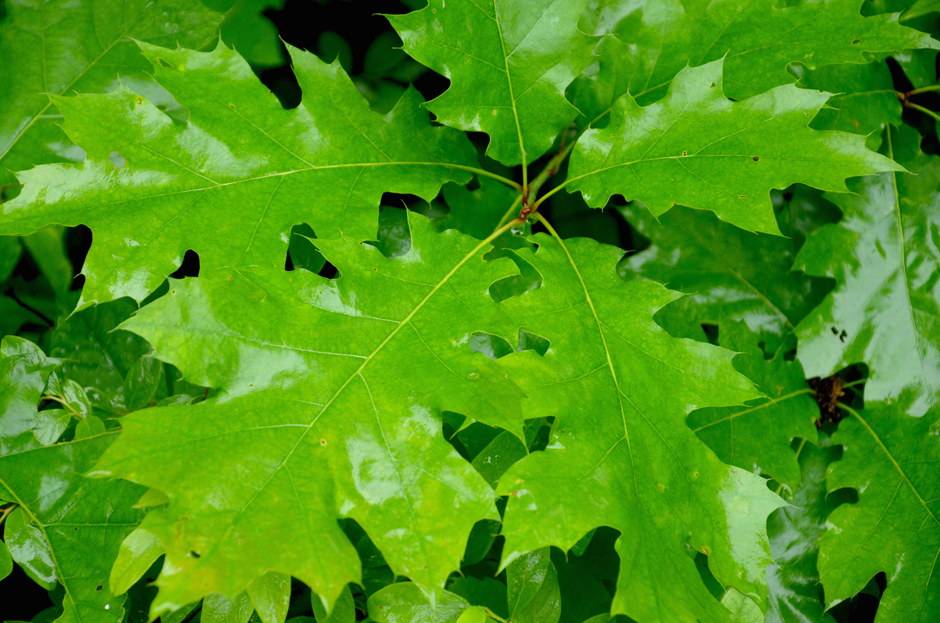 Oak leaves in the rainy forest.
