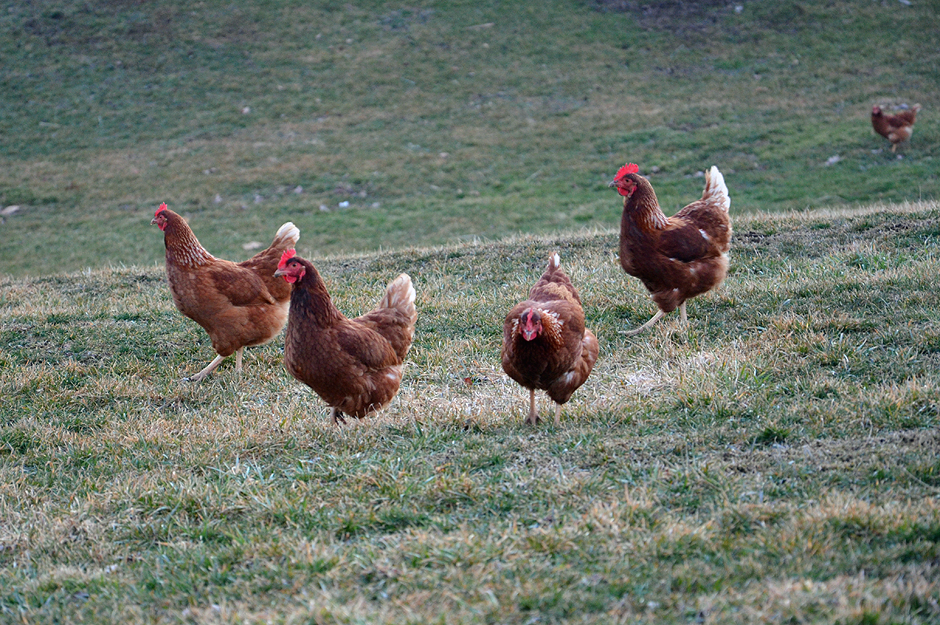 chickens pecking frosty grass