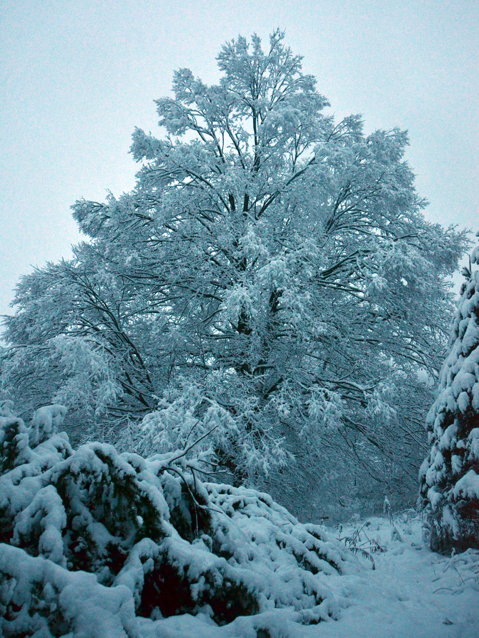 An old maple tree stands guard as winter rages on.