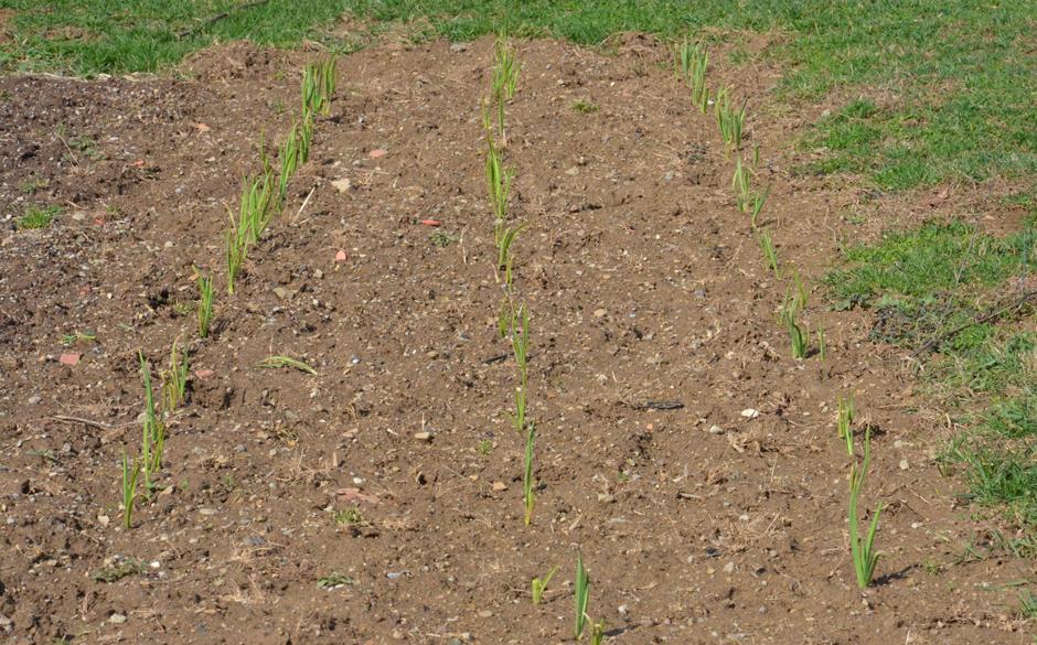 Garlic growing in spring garden.