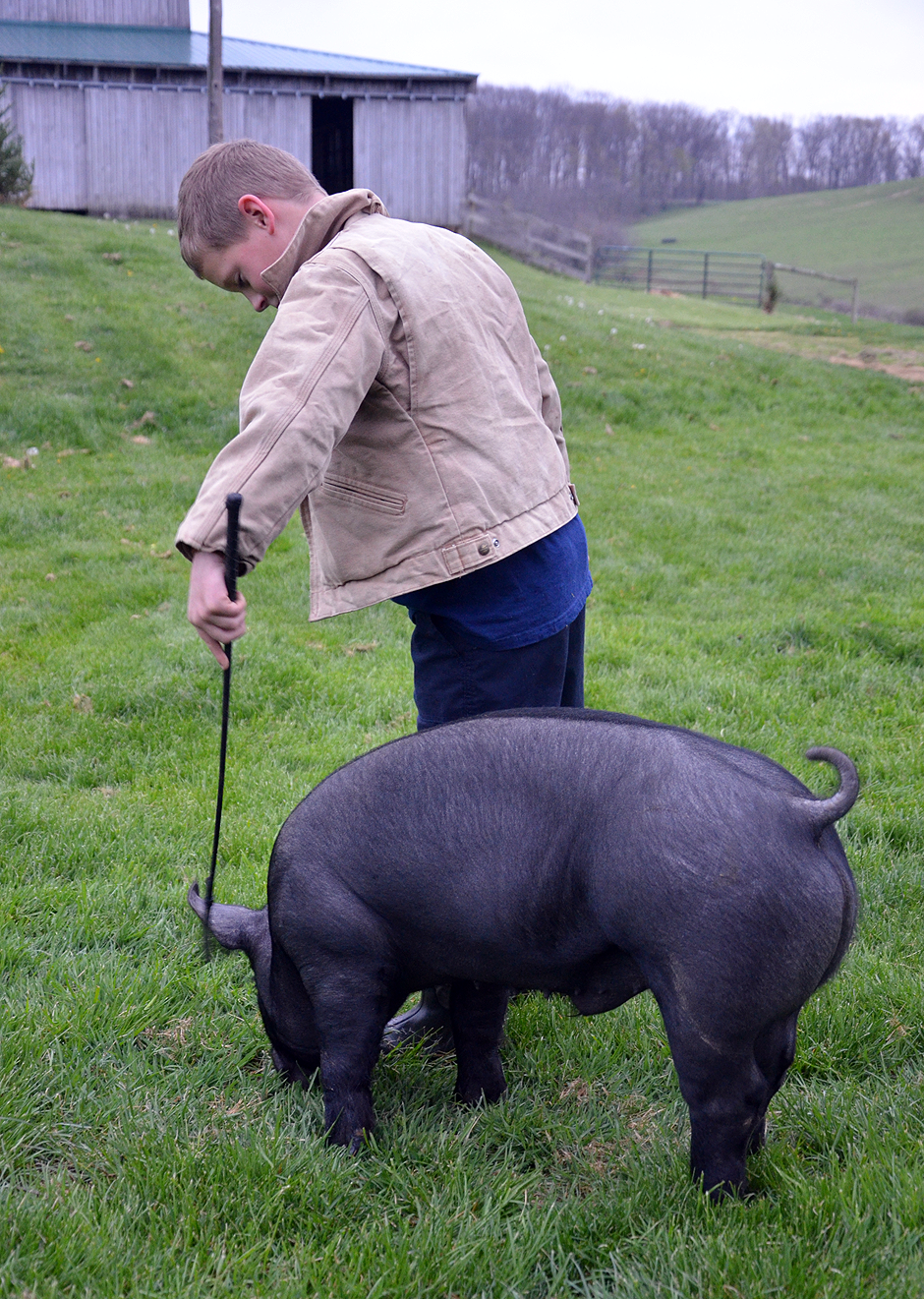 Walking the hogs - gently tap-tapping his pig to get it to turn to and fro.
