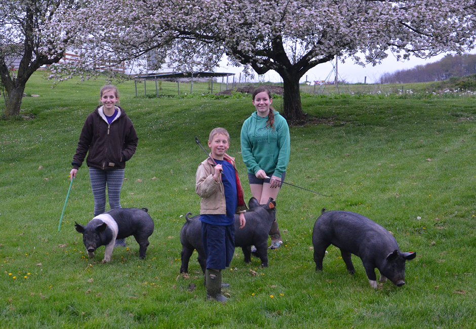 Walking the hogs - three kids and 4-H projects