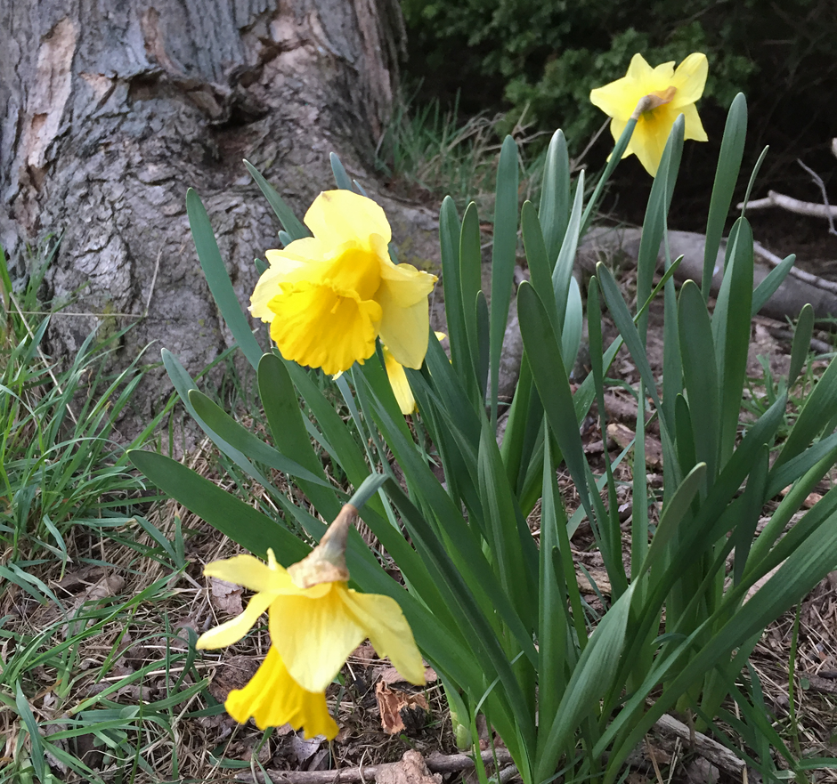 Daffodils blooming at Tuckaway Farm, spring 2017. Silence